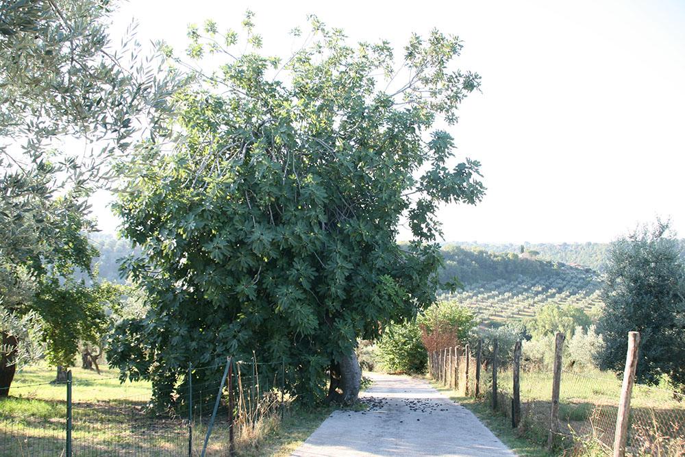 Fignetræ