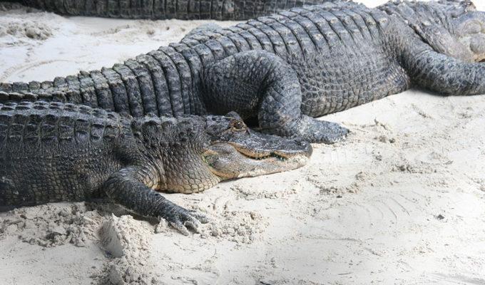 Everglades Safari Park – Ferie i florida, Miami